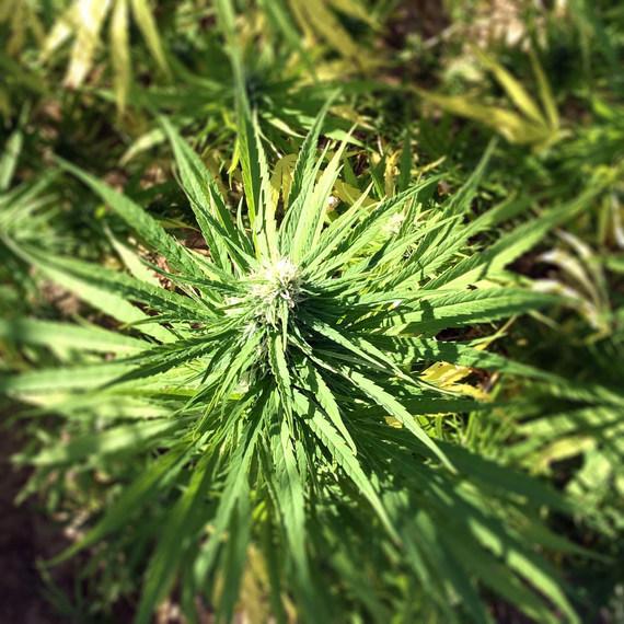 weed-thumb