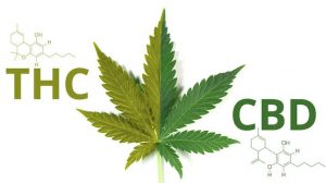 All You Ever Wanted to Know About THC and CBD