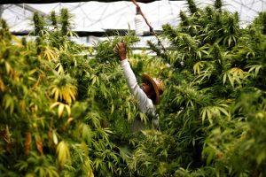 Israel Votes for Marijuana Decriminalization