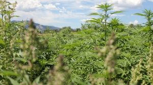 American Hemp: From Favored to Forbidden
