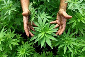 42% of CBD Users Drop Their Traditional Medicines