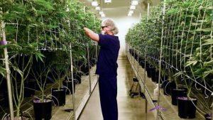 Jobs Aplenty in The Legal Cannabis Industry