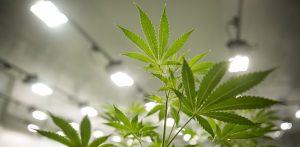 Former Wrigley Owner Backs Medical Marijuana