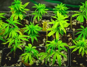 Science Points at Marijuana Deficiency Being a Real Possibility
