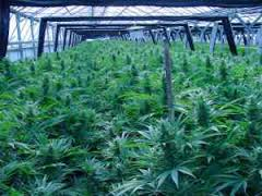 GM-marijuana
