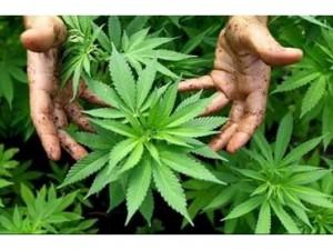 Australian Mining Company Enters Medical Marijuana Game
