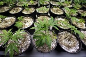 Senate Opening Up to Medical Marijuana Research
