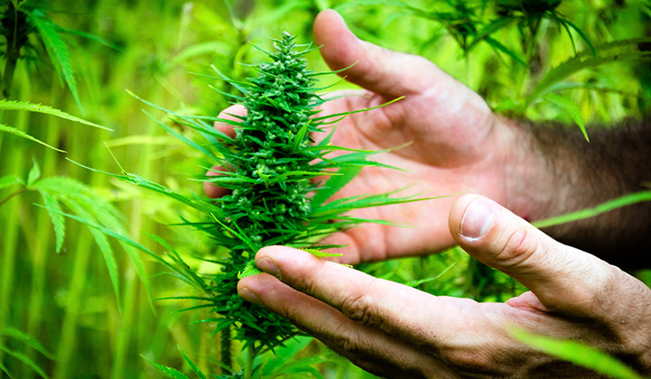 hands-cupping-cannabis-plant