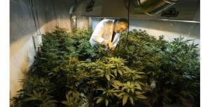 REQUEST TO BUY THIS PHOTO TED S. WARREN | ASSOCIATED PRESS FILE PHOTO Jake Dimmock, co-owner of the Northwest Patient Resource Center medical-marijuana dispensary in Seattle, works with plants.