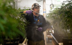 Lucas Targos, the head grower at L'Eagle, sprays marijuana plants in the cultivation room with neem oil, which helps combat spider mites and mildew and has been approved for use by the state in certain products. (Cyrus McCrimmon, The Denver Post)