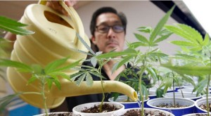 California lawmakers are working to repeal a March 1 deadline on local governments setting rules or bans on marijuana cultivation. Pictured: Canna Care employee John Hough waters young marijuana plants at the medical marijuana dispensary in Sacramento, Calif., on Aug. 19, 2015. (Rich Pedroncelli, Associated Press file)