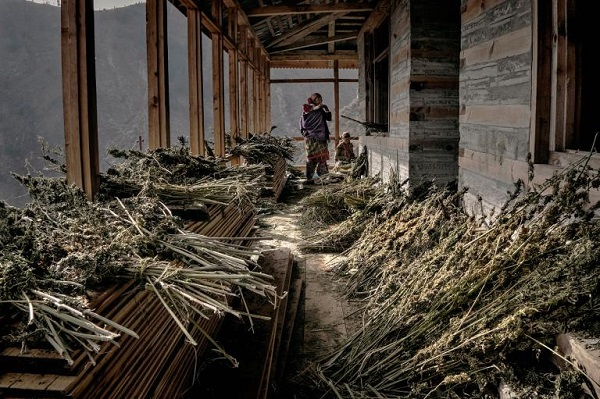 A farmer's family collects dry plants they did not manage to turn to hashish before snow came. PHOTOGRAPH BY ANDREA DE FRANCISCIS