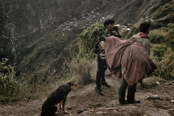 Two men carry freshly cut ganja from the field. It's an hours-long walk to their homes. PHOTOGRAPH BY ANDREA DE FRANCISCIS