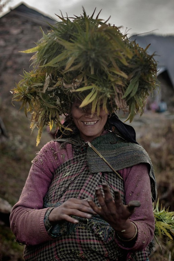 A local woman carries a ganja bundle on her head while pulling resin from her hands.