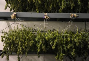 Marijuana plants hang in the drying room of a Denver medical marijuana dispensary. (Denver Post file)