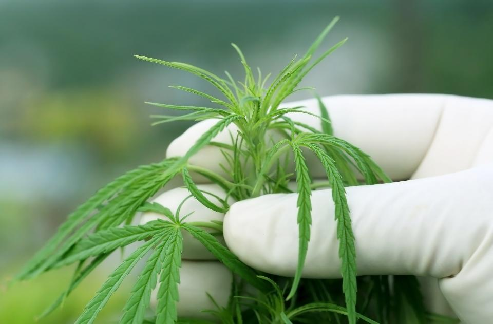 marijuana compound