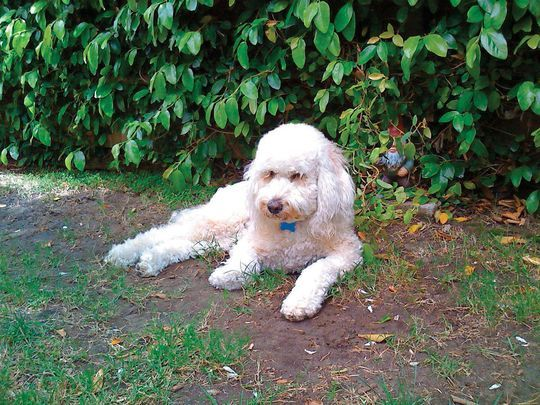 Lori Aronsohn of Los Angeles fed her 10-and-a-half-year-old Labradoodle Hamish Canna-Pet tablets and liquids to lessen his seizures. (Photo: Lori Aronsohn)