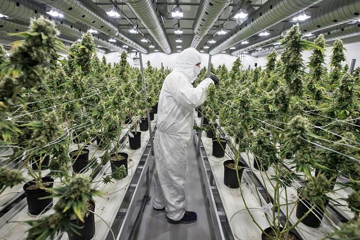cannabis benefits