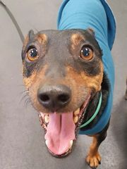 John Mayer, a 6-year-old miniature pinscher who suffered from anxiety after a car accident, was given CBD treats and now he socializes more with other dogs. (Photo: Motley Zoo Rescue)