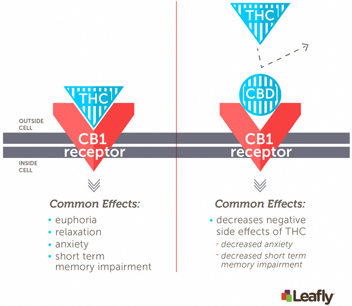 Figure 1: The psychoactive effects of cannabis depend largely on THC's ability to activate CB1 receptors in the brain. Left: Activation of CB1 receptors by THC in the brain triggers many of the classical effects of cannabis. This includes pleasant effects like euphoria and relaxation and side effects like short-term memory impairment and anxiety, especially at higher doses. Right: CBD does not activate the CB1 receptor. Instead, CBD interferes with THC's ability to activate the CB1 receptor, which can decrease some of THC's side-effects. (Amy Phung/Leafly)
