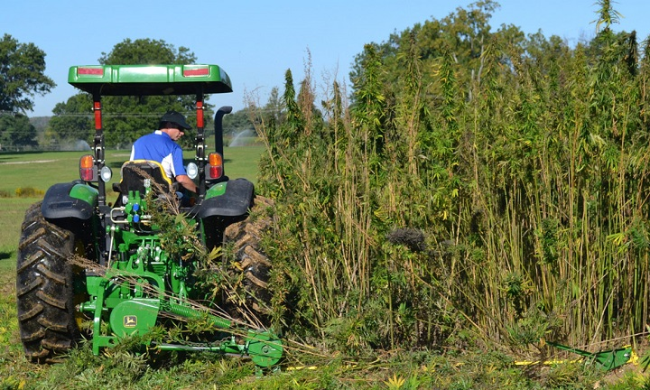 A tractor cuts a small plot of hemp at a University of Kentucky research plot near Lexington on Sept. 23, 2014. (Dylan Lovan, The Associated Press)