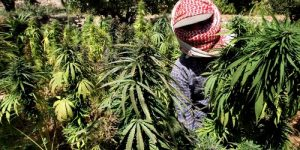 Cannabis Offenders of Past, Experts of Future?