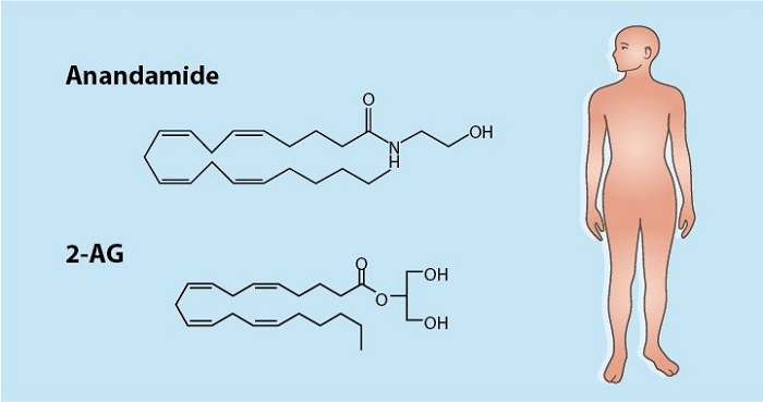 Endocannabinoid System: Anandamide and 2-AG