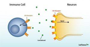 Endocannabinoid System: The CB Receptors