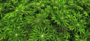 Medical Cannabis Improves Care of Elderly Patients