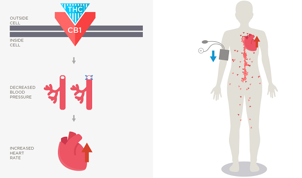 Cannabis and Your Heart: The impact of CB1 receptors