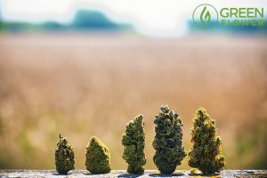 Tips for choosing the best cannabis strains for depression.