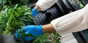 Corporate Cannabis: Why Rise in CBD Patents Matters