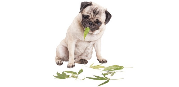 Cannabis for Pets: Investing Opportunities?