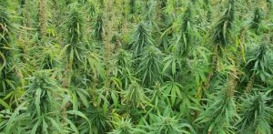 Barriers Dampen the High Potential of Industrial Hemp