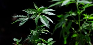 Is Marijuana Addiction Affecting More People?