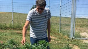 Markus Lüdi grows 15 types of cannabis plants for medicinal use.