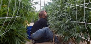 Which Marijuana Jobs Are Valued the Most?