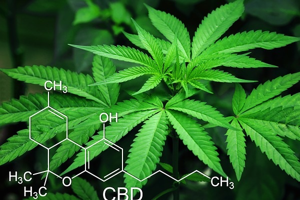 Cannabis, one of the world's oldest plants with strong mood-altering effects, is taking modern medicine by storm.