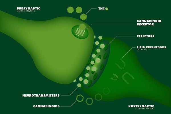 The endocannabinoid receptors