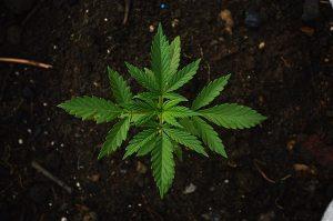 The cannabis plant has two main strains, Cannabis Indica and Cannabis Sativa.