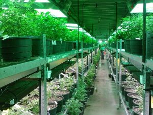 Cannabis producers are going for more secure indoor facilities.