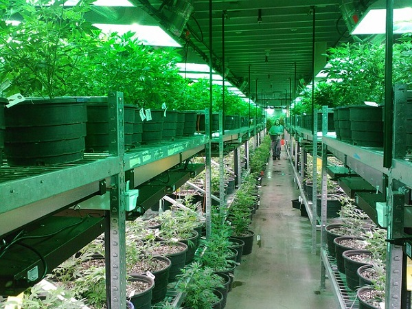 A Look at Marijuana Breeding