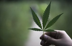 To grow hemp successfully, choose the right type of hemp.