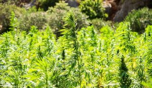 Growing hemp offers plenty of benefits.